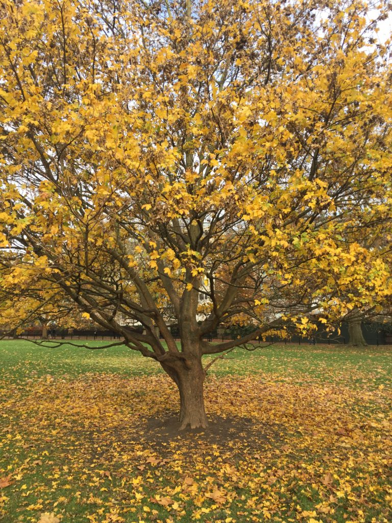 Green Park and the many parks of London are beautiful in fall. The Green Park is conveniently located across from the Buckingham palace.