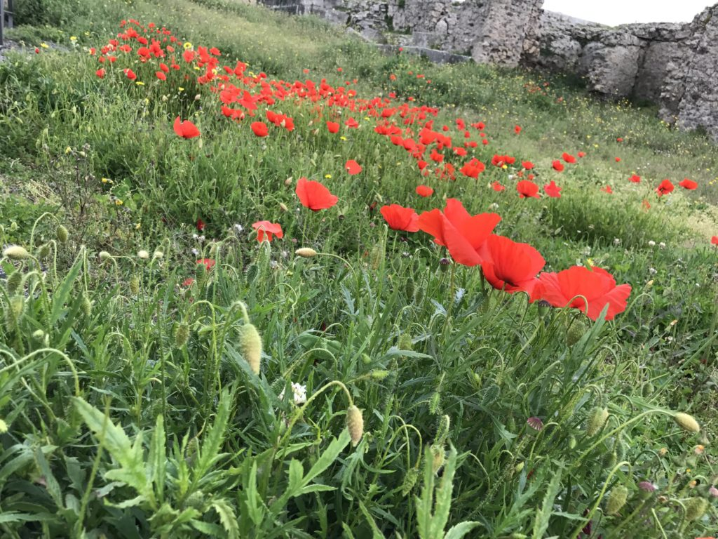 Red poppies in Pompeii.