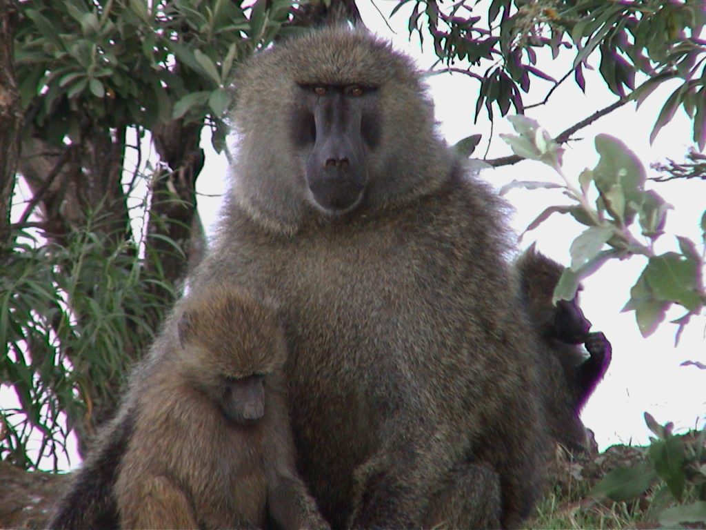 Mother-Child Baboon in Nakuru National Park