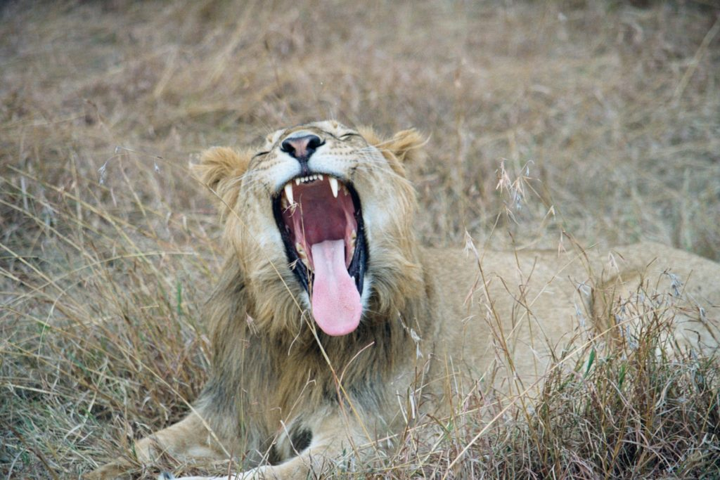 A lion yawning or exercising, it hard to tell.