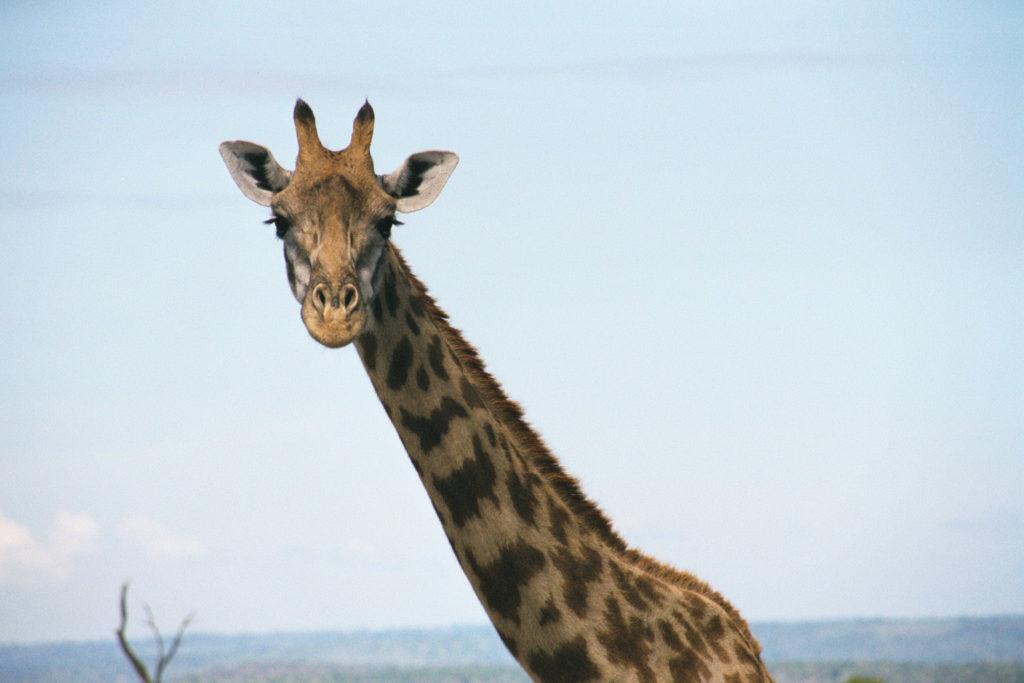 A giraffe in Masai Mara, Kenya