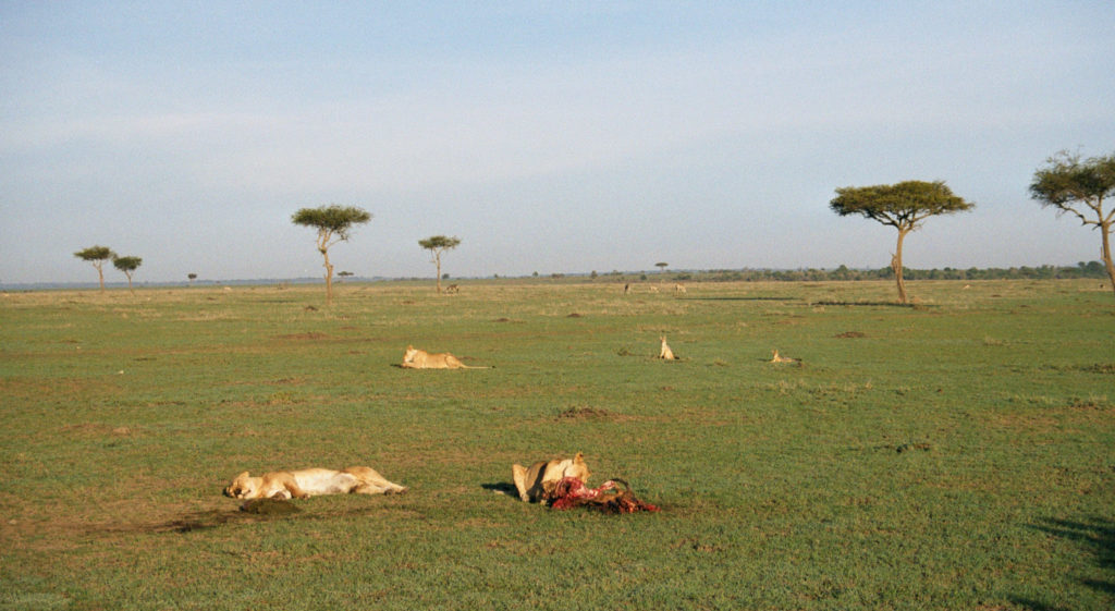 A lioness having her breakfast while other lions take a nap, hyenas await their turn and antelopes graze freely in Masai Mara.