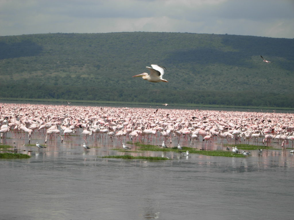 Pink Flamingoes as far as the eyes can see in Lake Bagoria, Kenya.