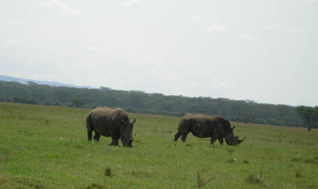 Black Rhino happily grazing in pairs and sometimes with family.