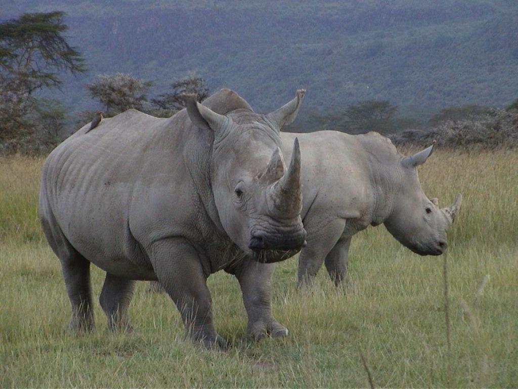 Rhinos grazing