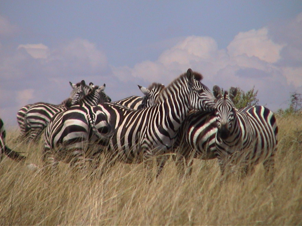 A group of Zebras in Masai Mara