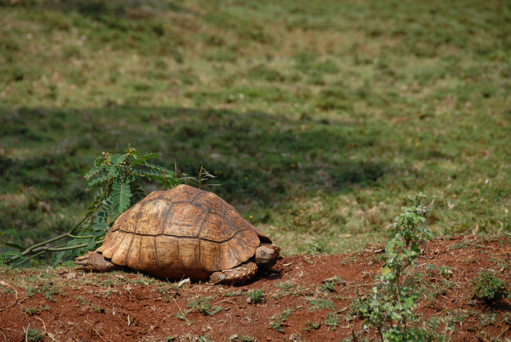 A giant tortoise in Nairobi National Park