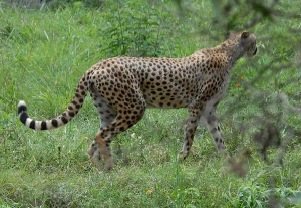 A gorgeous leopard roaming around in Nairobi National Park
