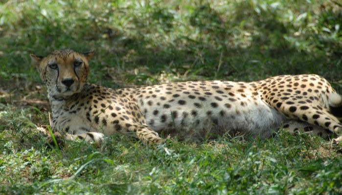 Leopart in Nairobi National Park 699x399 (1)