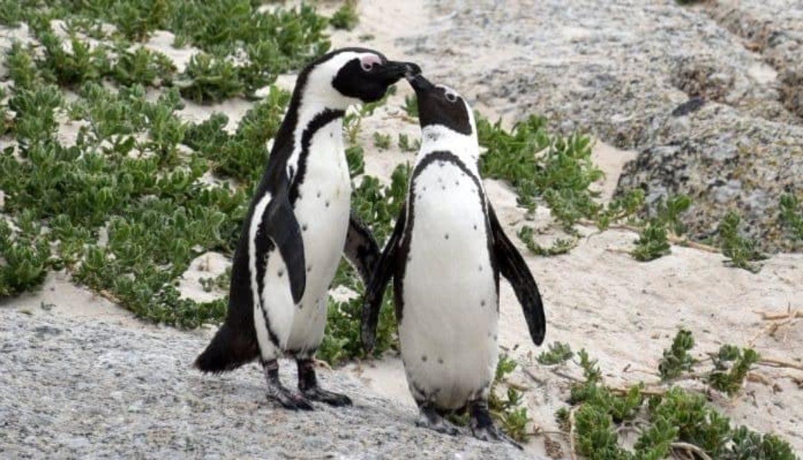 African Penguins in Simons Town, south of Cape Town