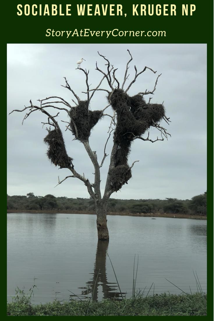 Sociable weaver bird nest