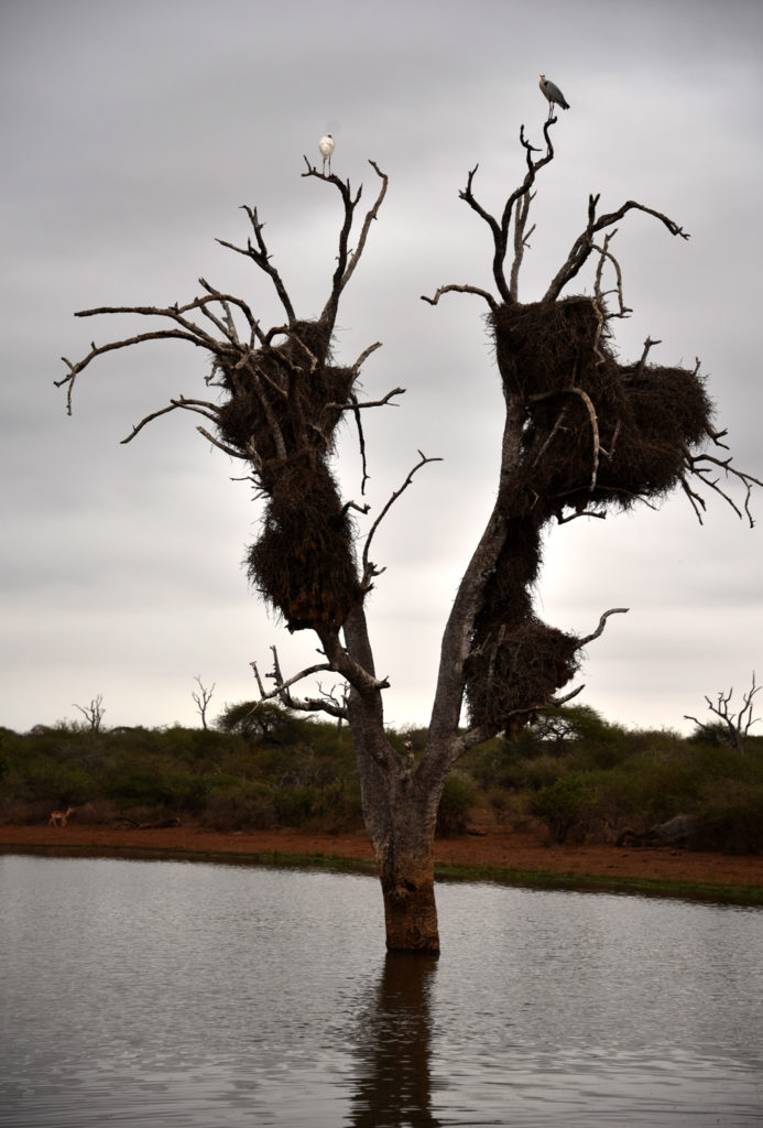 Sociable weaver nest in Kruger National park on Sunset lake with large birds perched on top.