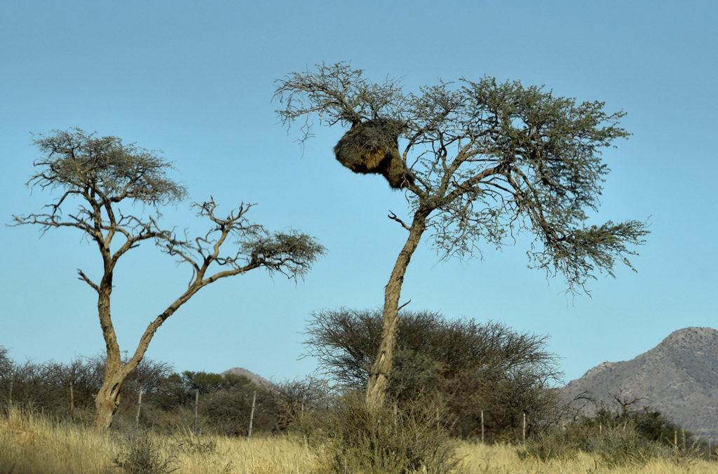 A sociable weaver nest in Namibia.