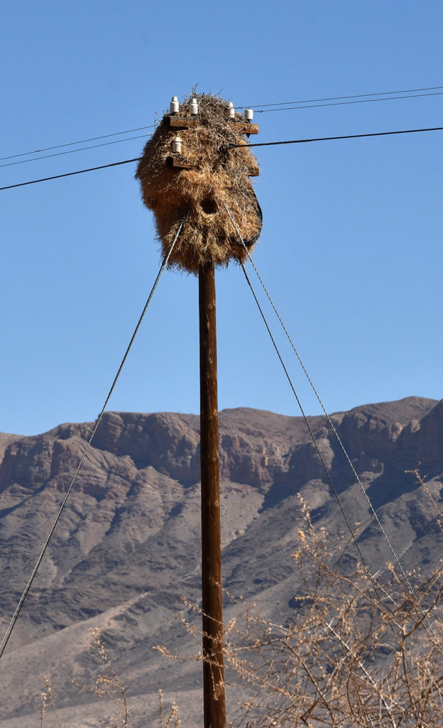 Poles with sociable weaver nests dot the Namibian and South African landscape.