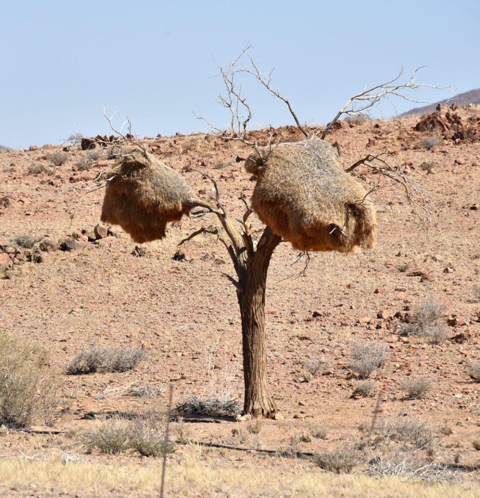 Sociable weaver nests on trees all over Namibia's arid landscape.