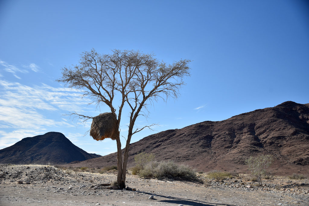 A sociable weaver nest in the bow of a tree in Namibia.