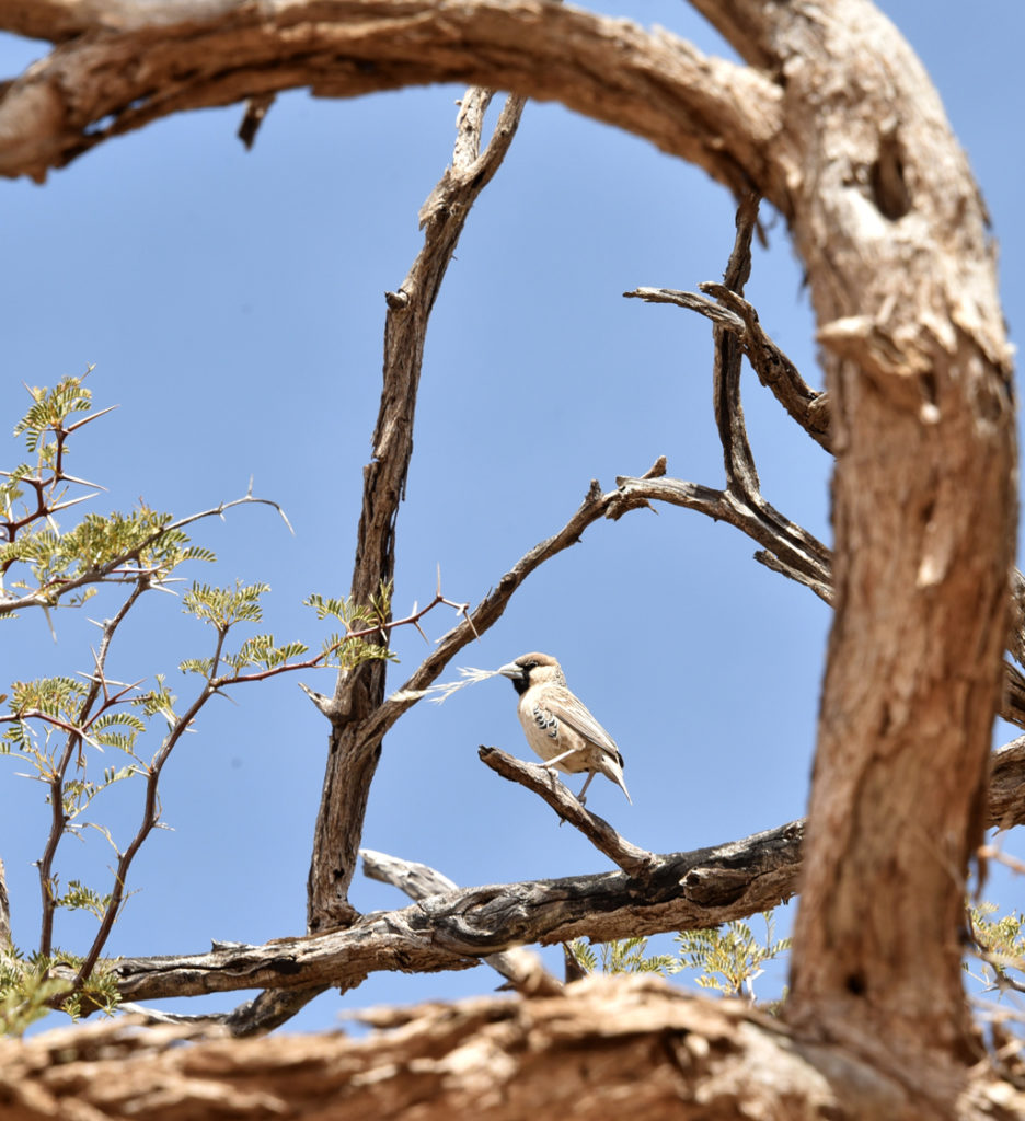 A sociable weaver bird brings a twig to add to the family nest.