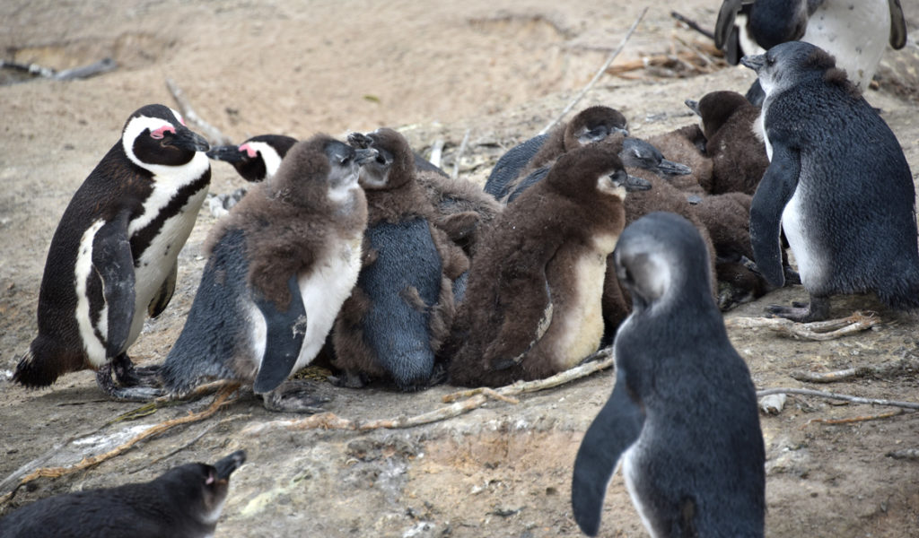 African penguin chicks over a month old huddle together for warmth and safety while parents go fishing.