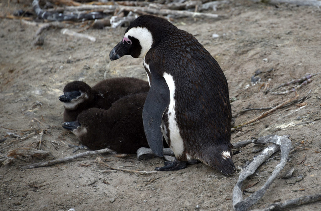 African penguin chicks stay with a parent for a month.