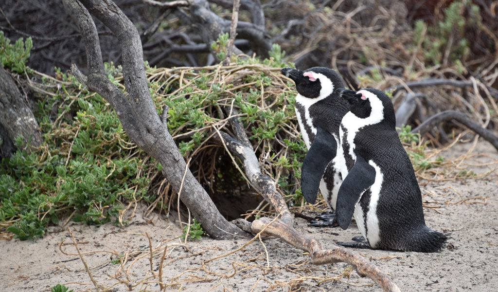 An African penguin couple builds a nest for their chick to come.