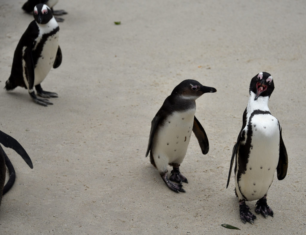 Looks like an African penguin father is giving the child a lesson.