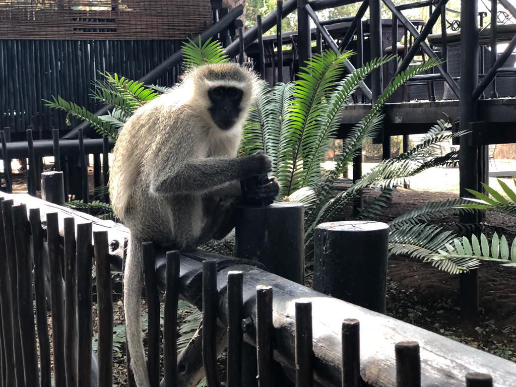 The silver Vervet Monkeys are everywhere on the Protea hotel property. Watch out for your things. They take wallets, sunglasses, zip drives, cameras, anything at all. They absolutely refuse to return them.
