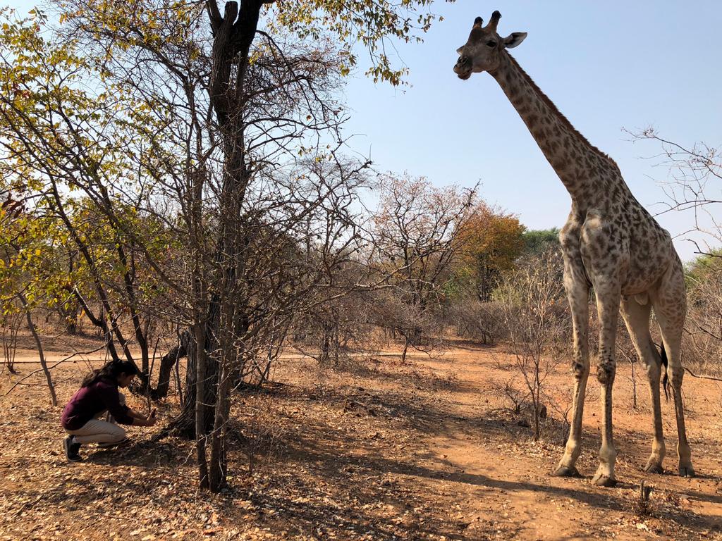 One of the resident child giraffes in Royal Livingston & AVANI resort.