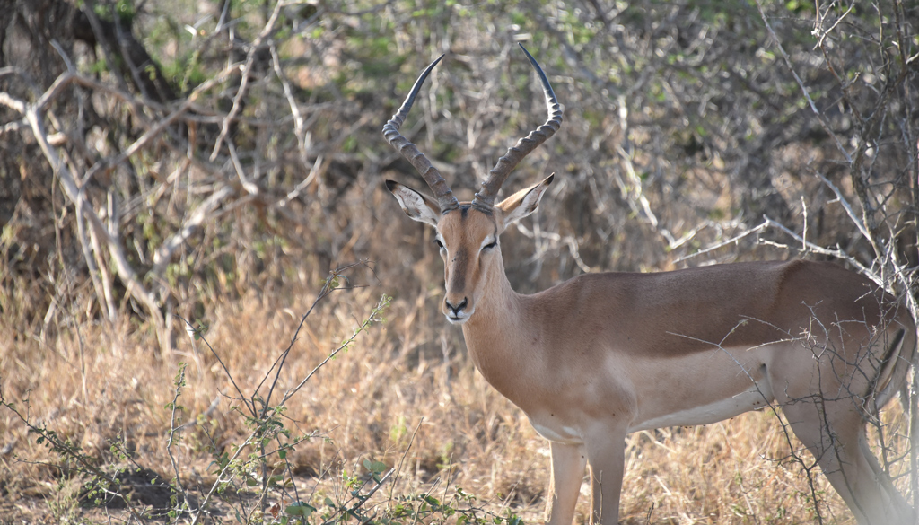 The dainty and elegant impalas are everywhere in Kruger National Park.