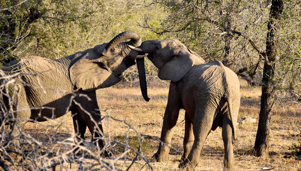 The elephants were plentiful and a joy to watch in Kruger National Park.