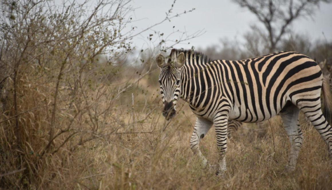 NKB_4717 zebra