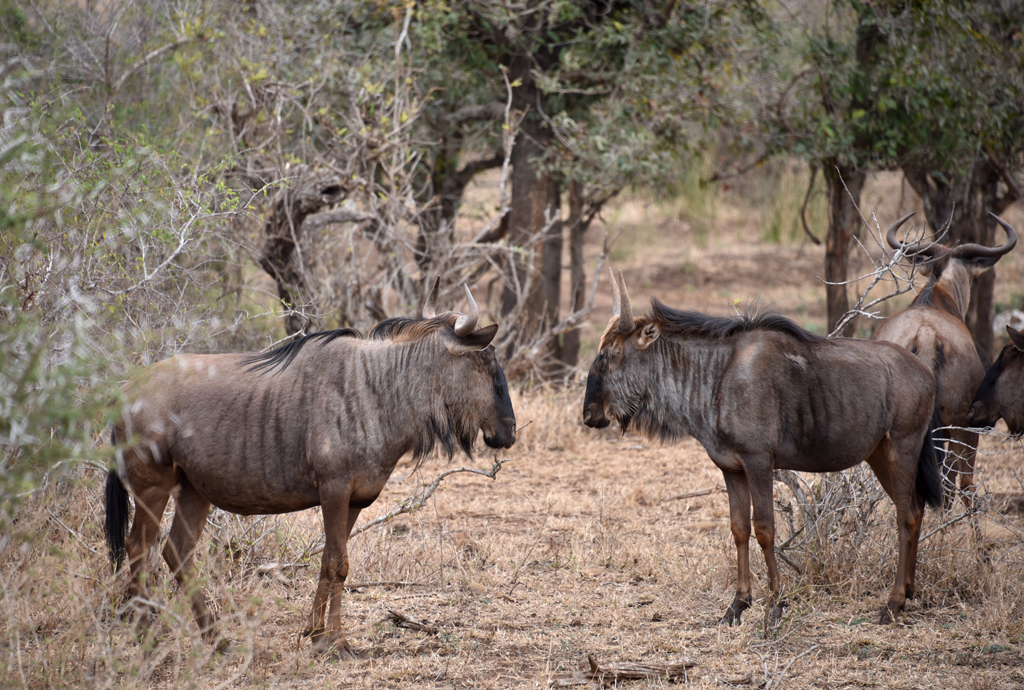 Two wildebeests ready to prove who's the boss.