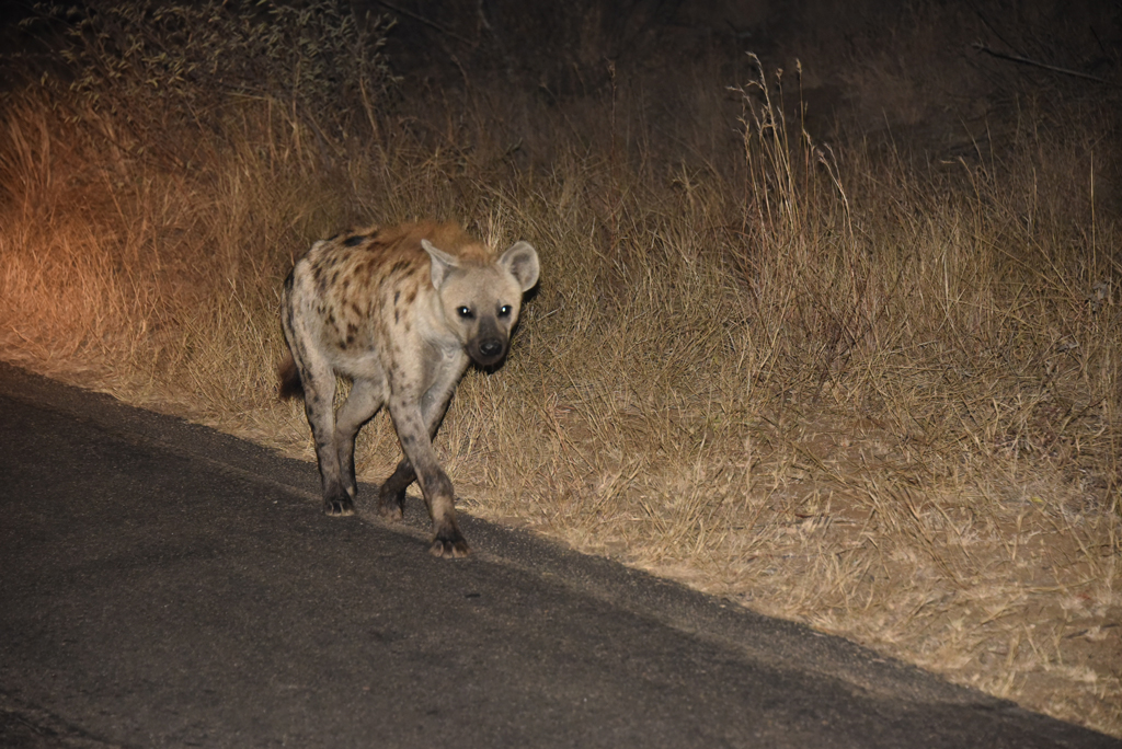 A hyena on the lookout for lion kills in the night in Kruger National Park