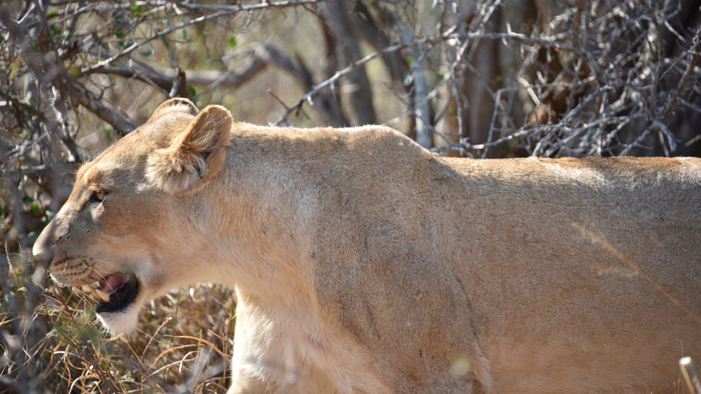 The lioness suddenly started walking and came so close to me looking into my eyes that I froze. I could only fit a part of her in my viewfinder as she walked away.