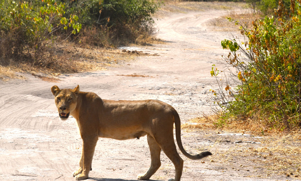 The Lioness ensured we looked harmless in Chobe National Park of Botswana.
