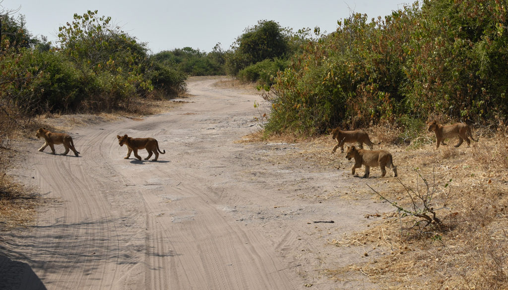 More cute lioness cubs emerged, cautiously crossing the road and the parade continued.