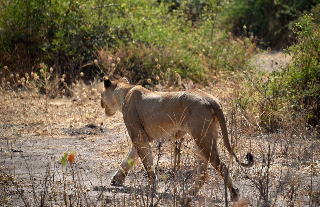 Suddenly a second lioness appeared from bushes and crossed the dirt road to get to the cute cubs. She needs to get them to the the chobe river safely.