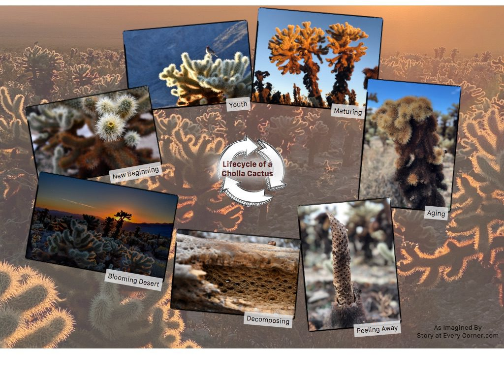 This story may be fictional but it is my imagination of a Cholla Cactus's lifecycle based on my observation. If there was a ranger on site, it would be based on facts.
