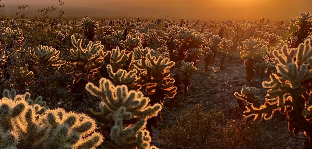 Sunrise in Cholla Cactus Garden in Joshua Tree NP