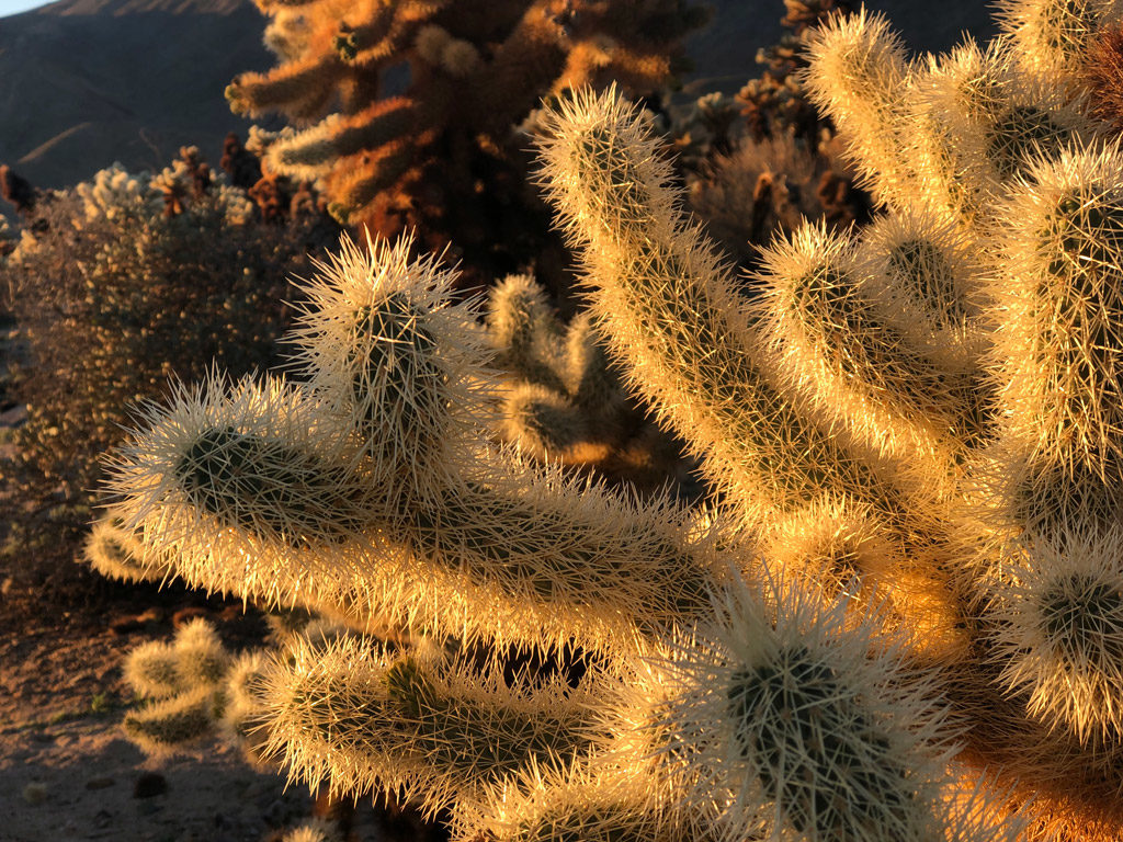 Little balls of thorns are roll around and easily lodge into the skin. But, the Cholla cactus balls are hard to dislodge.