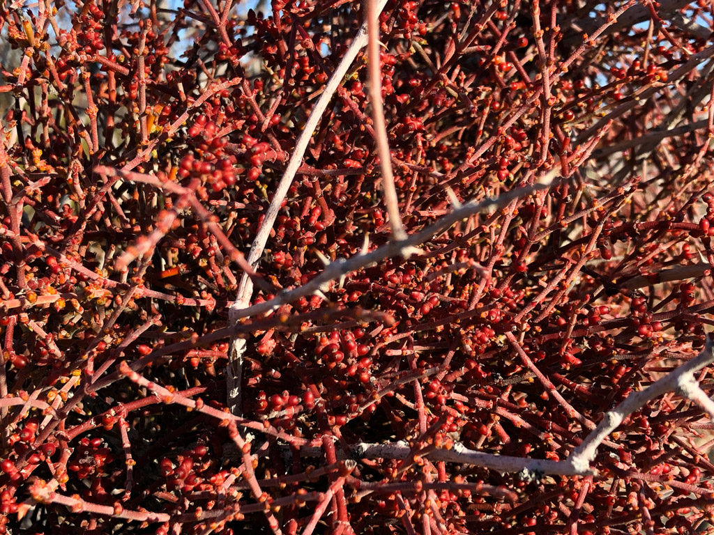 The clusters turned out to be young branches and berries.
