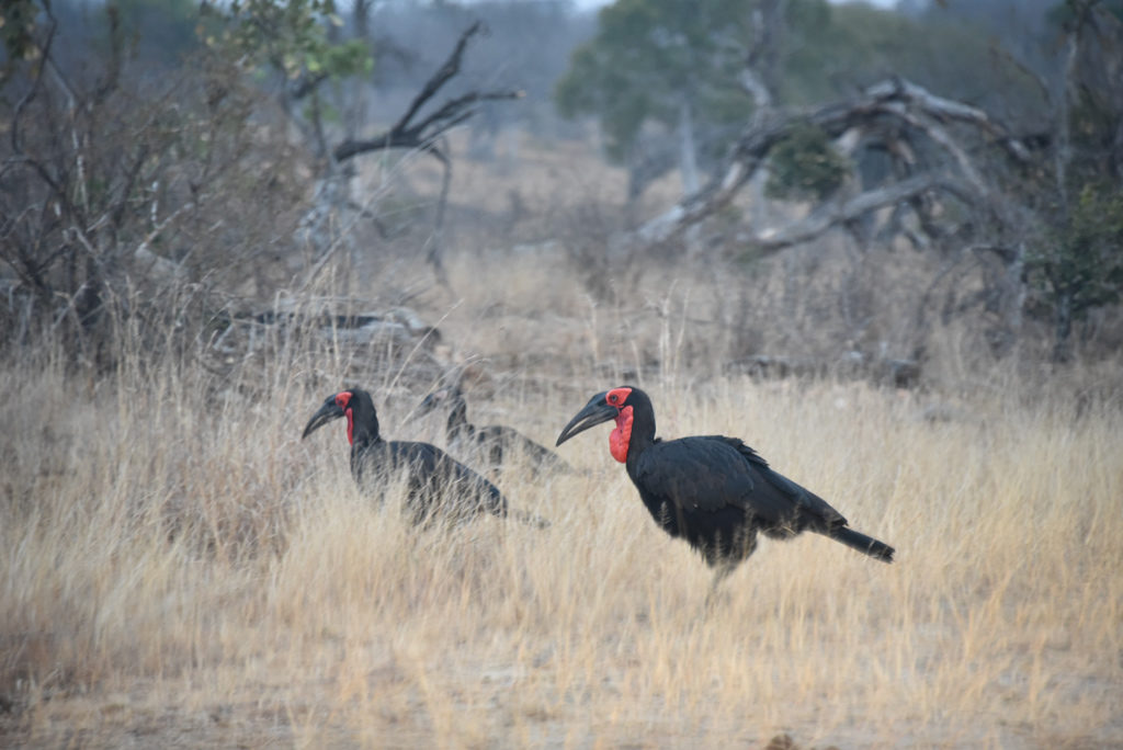 Some ground hornbills going about their morning routine in Kruger National Park.