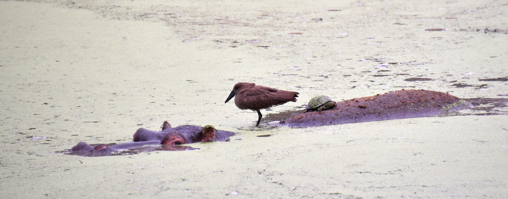 Looking a little closer, the hippo had a tortoise and a brown bird for company in Kruger National Park.