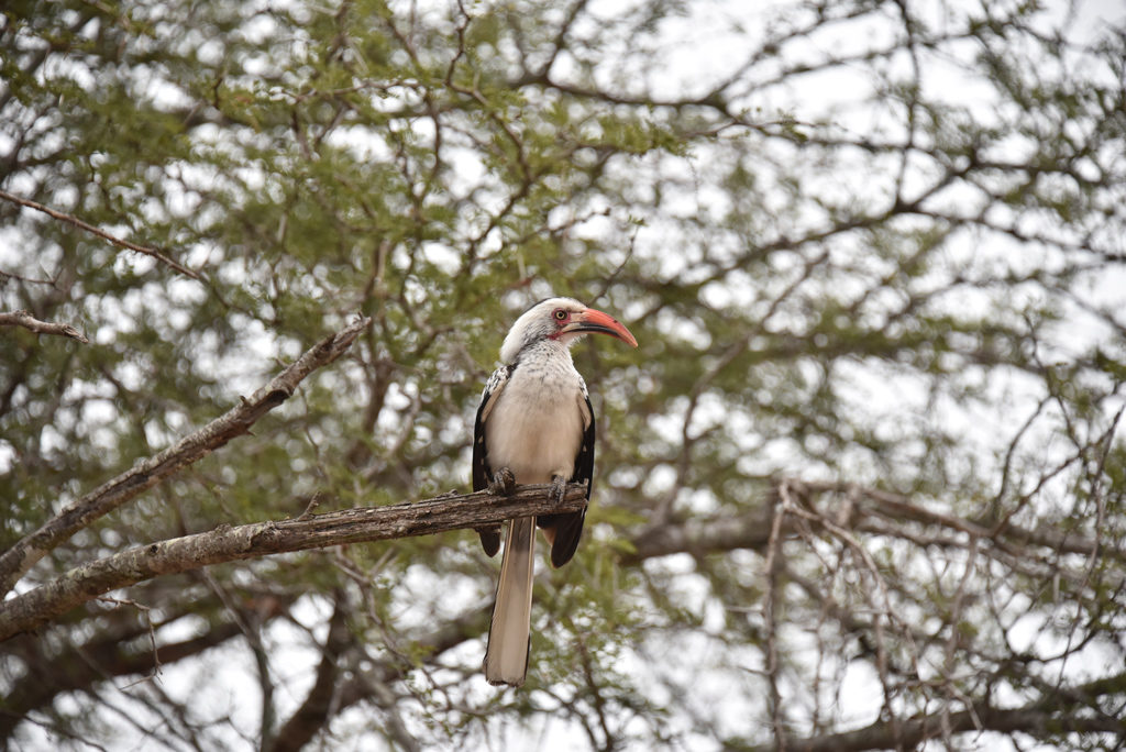 A southern yellow-billed hornbill looking furious.