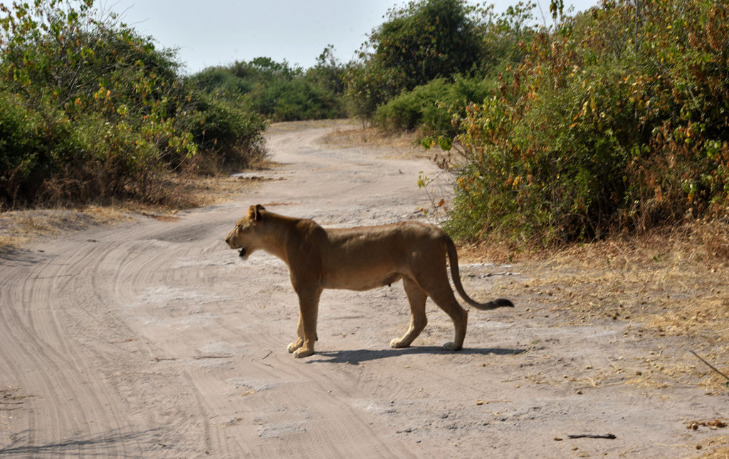 The lioness in Chobe looked to her right and forward for any lurking dangers.
