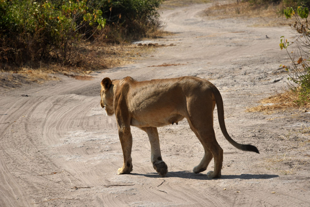 Once satisfied the lioness signaled the cubs and started walking towards the Chobe river in Botswana.
