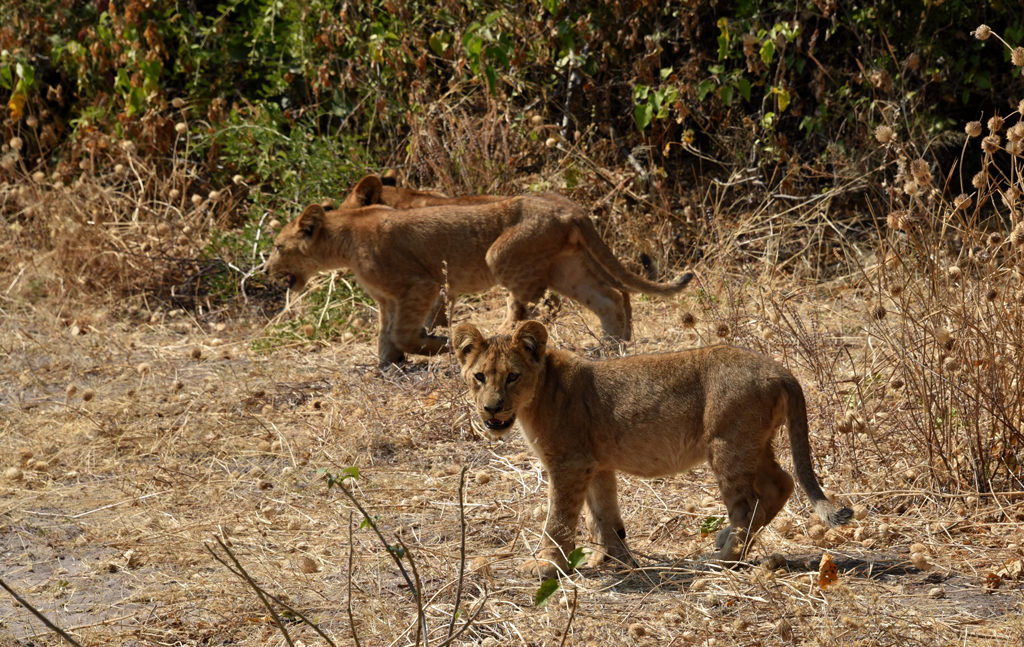 One cub in Chobe National Park kept their eyes locked on us while the siblings crossed the road.