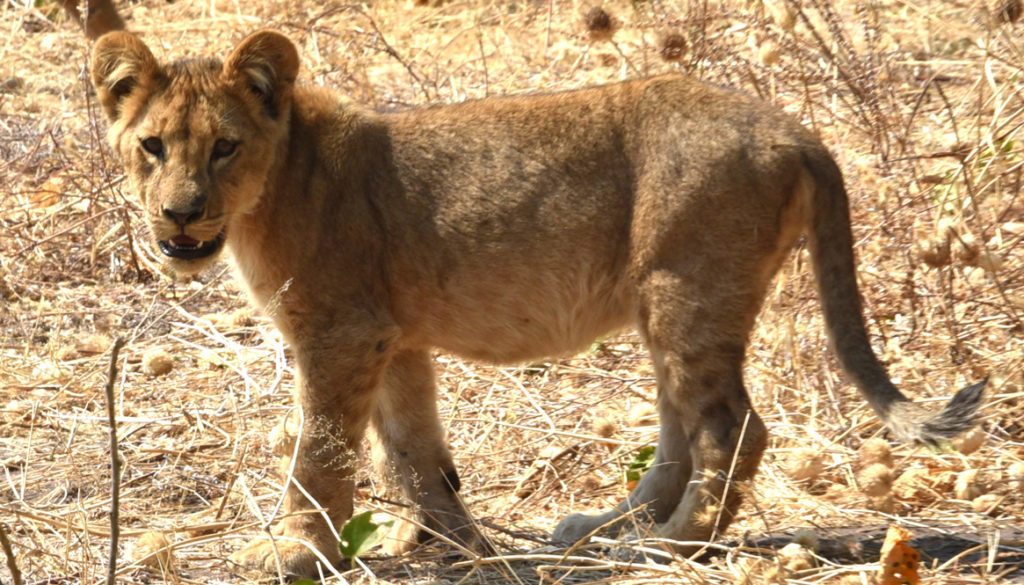 Is the lion cub thinking we're a threat?