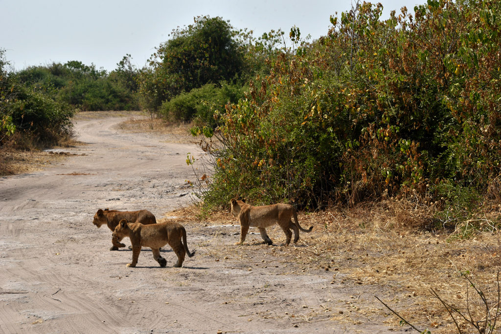 Eventually our little cub friend moved on too, heading to Chobe river.