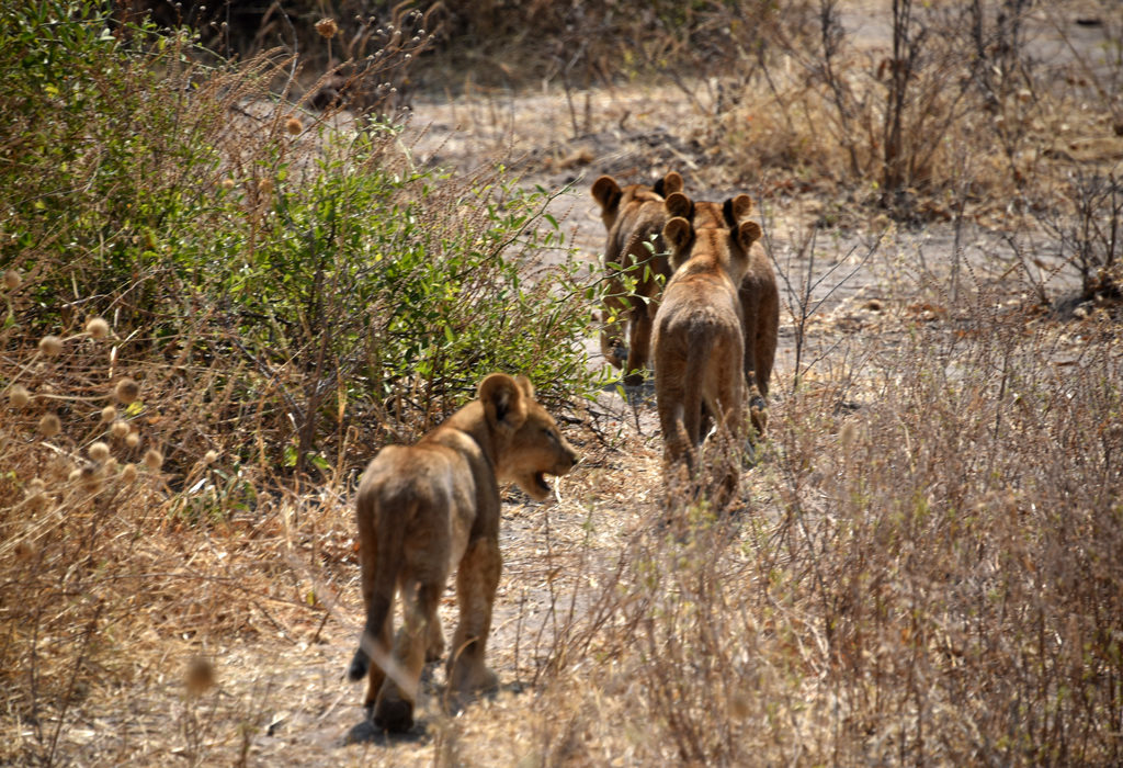 The little lion cubs crossed the road in a hurry to get to safety, away from the clearing and the road. But one started looking back!