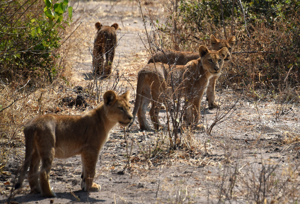 A third cub started looking back!